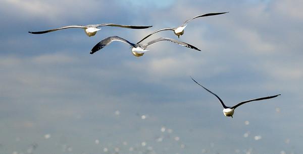 Gordon Park Gulls 2010