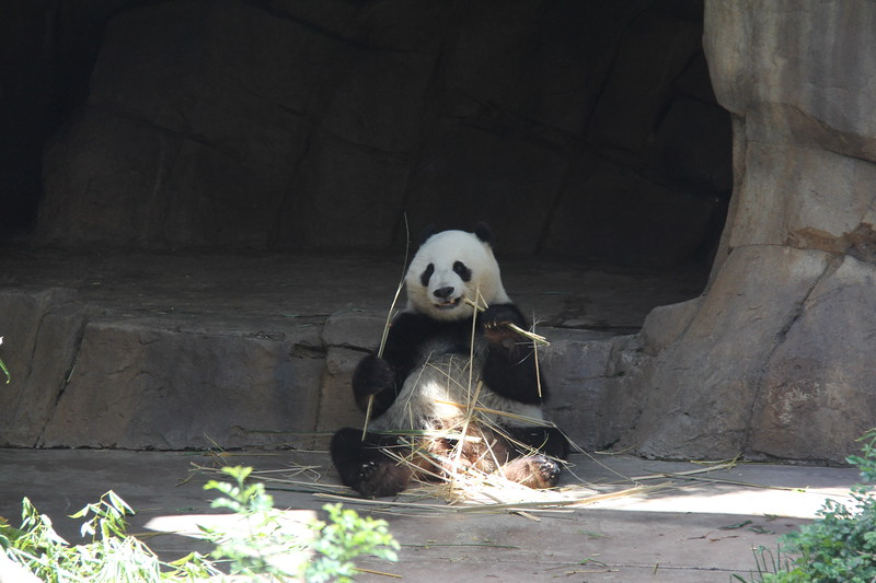 20170807-140 - San Diego Zoo - Giant Panda.JPG