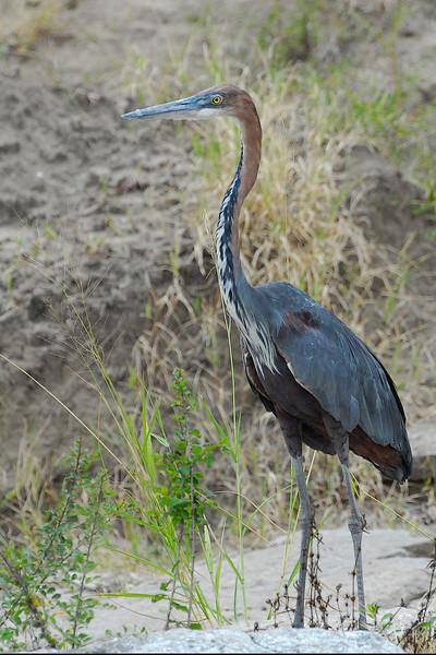 Goliath Heron.JPG