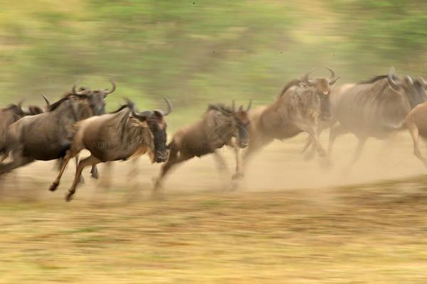 """Wildebeests running"""