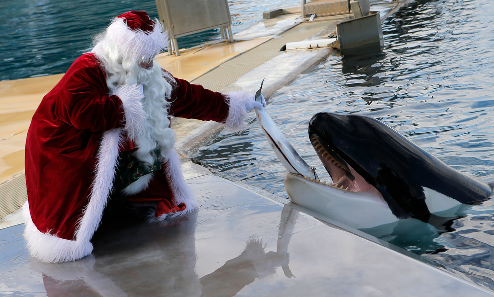 Description of . A man dressed in Santa Claus feeds a killer whale (Orcinus orca) named