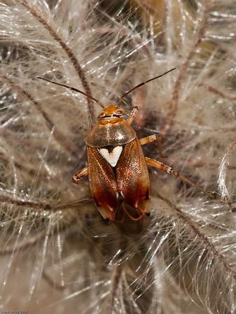 Tarnished Plant Bug (Lygus rugulipennis)