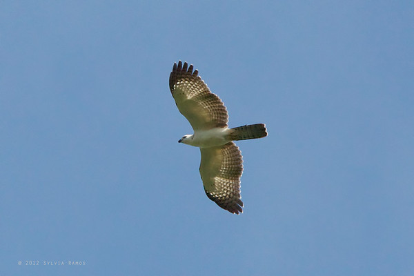 Philippine Honey Buzzard