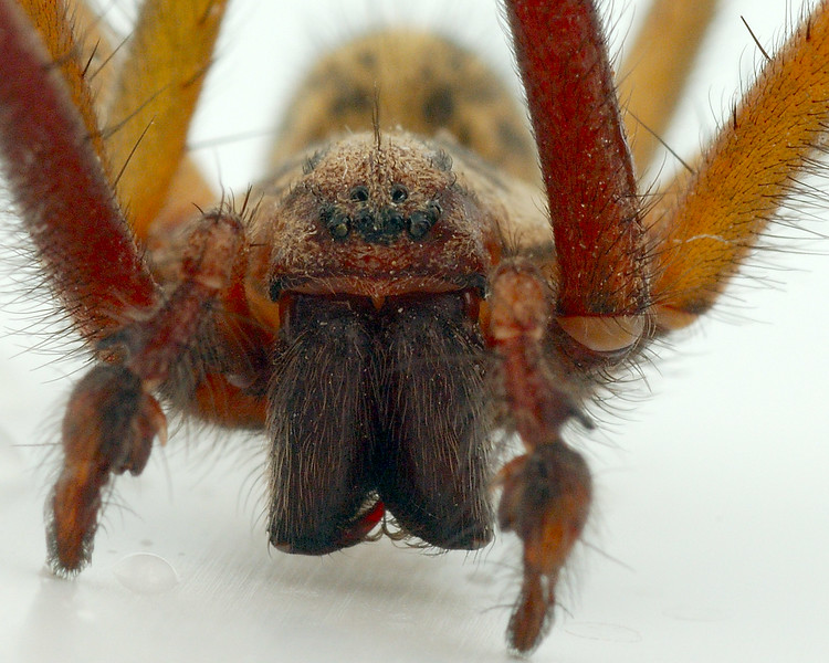 House spider closeup