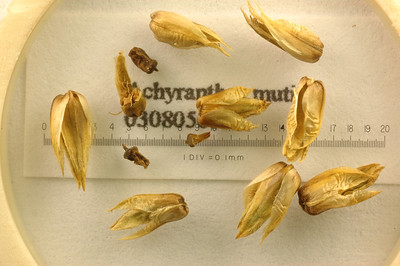 Achyranthes mutica