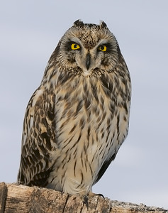 Short-eared Owl, Asio flammeus