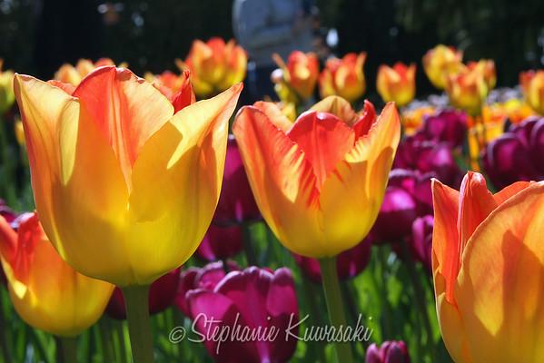 Tulip Festival - 04/2012