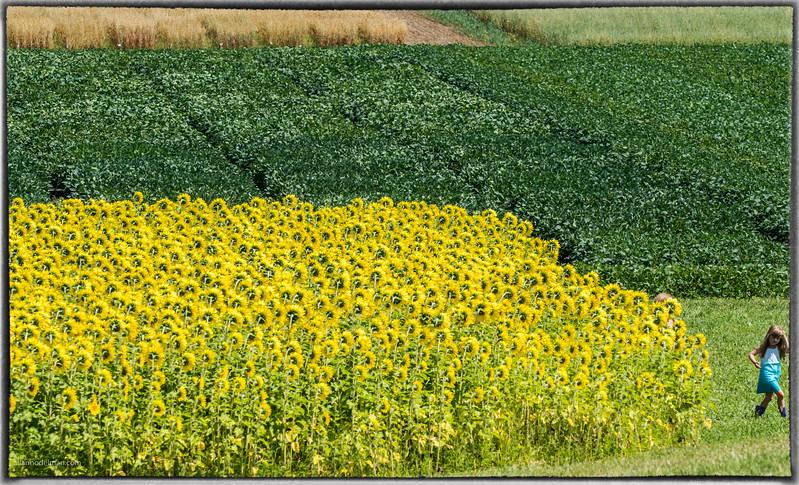 Sunflowers Central Experimental Farm
