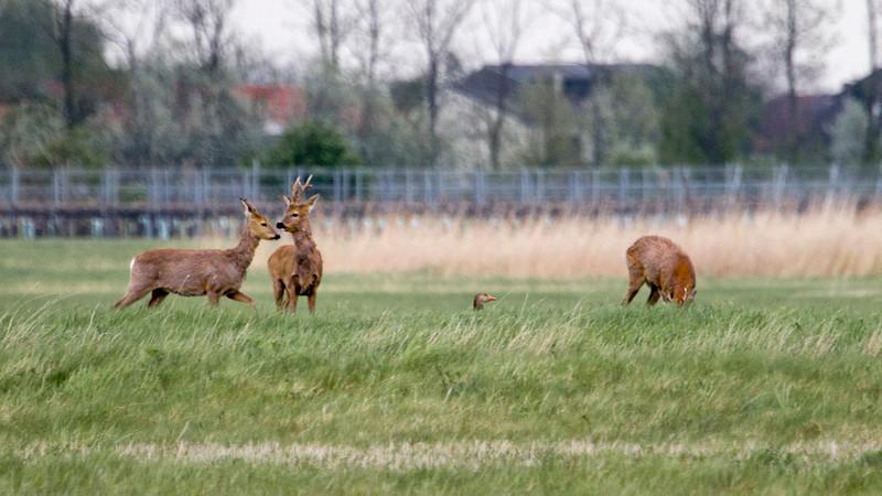 Deer with guard goose