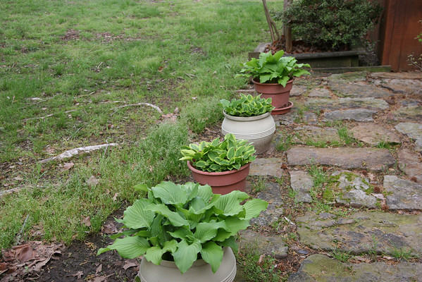 Yard - Dogwood and Azaleas March 27, 2012