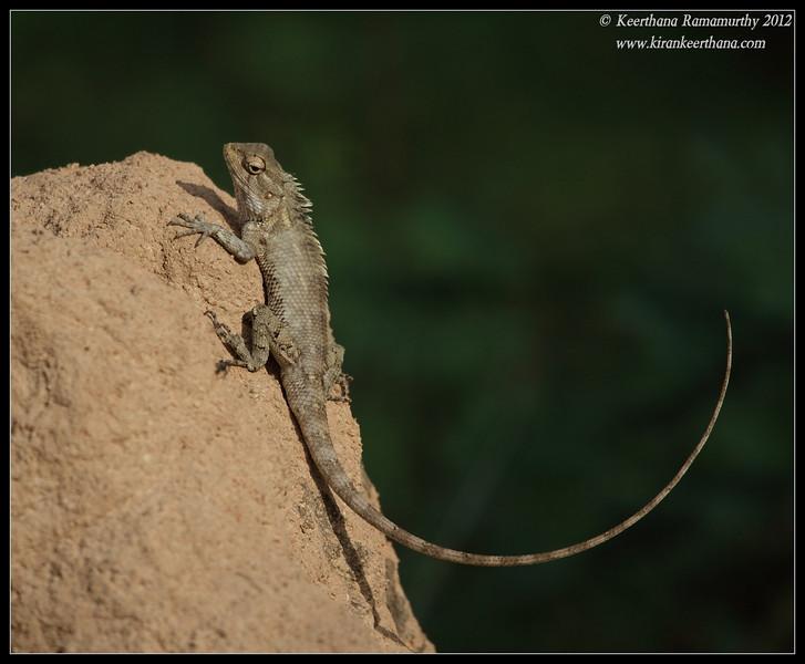Variable Agama tracking the movement of spider, Chamundi Hills, Mysore, Karnataka, India, May 2012