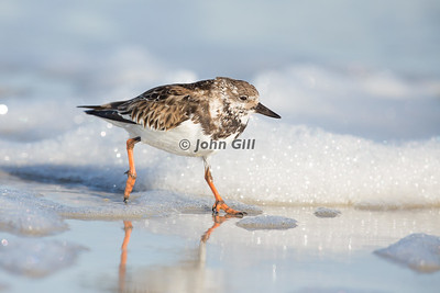 Shorebirds - Waders