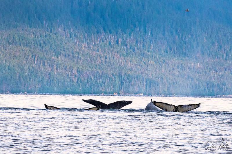 Whale flukes three_cpp_664A7105.jpg
