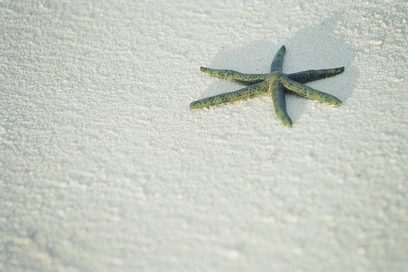 Starfish Maldives, June 2004.jpg
