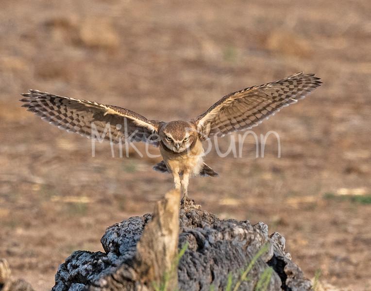 Burrowing Owl 21-63
