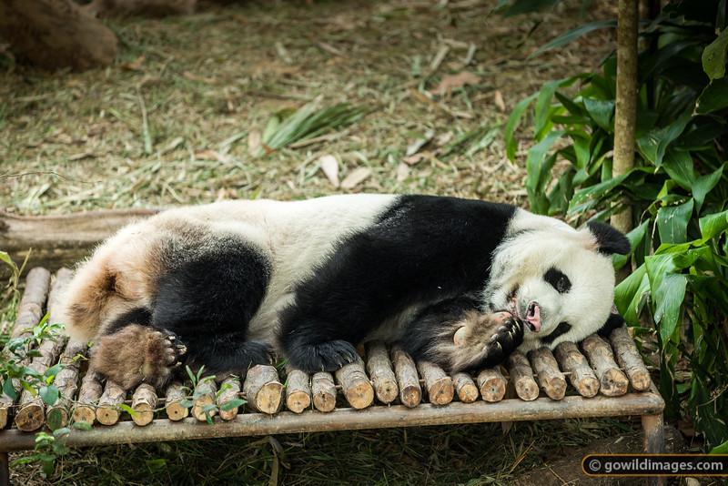 Panda Nap