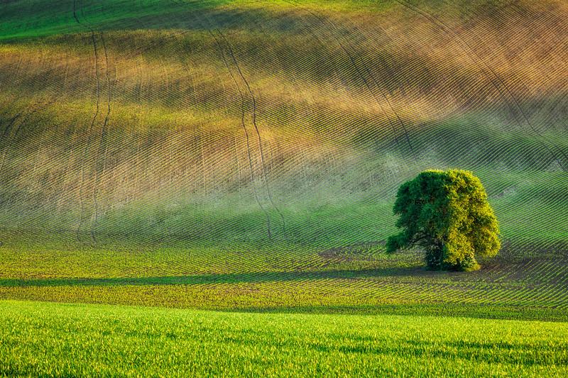 Lonely tree in olling fields
