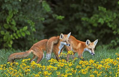 Foxes / Bobcat