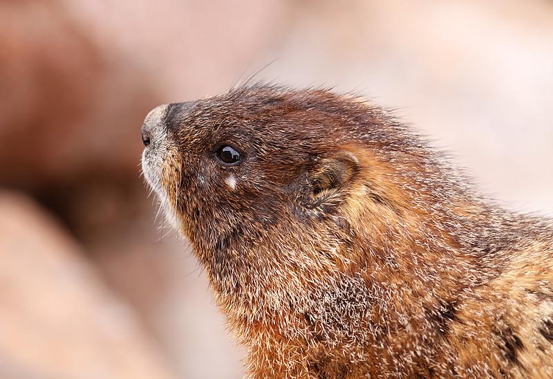 Peek A Boo - Marmot (Rocky Mountain National Park)