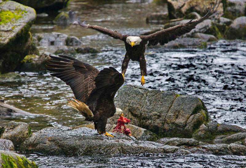 Alaska, Anan Wildlife Observatory, Bald Eagle, Tongass National Forest, Wrangell