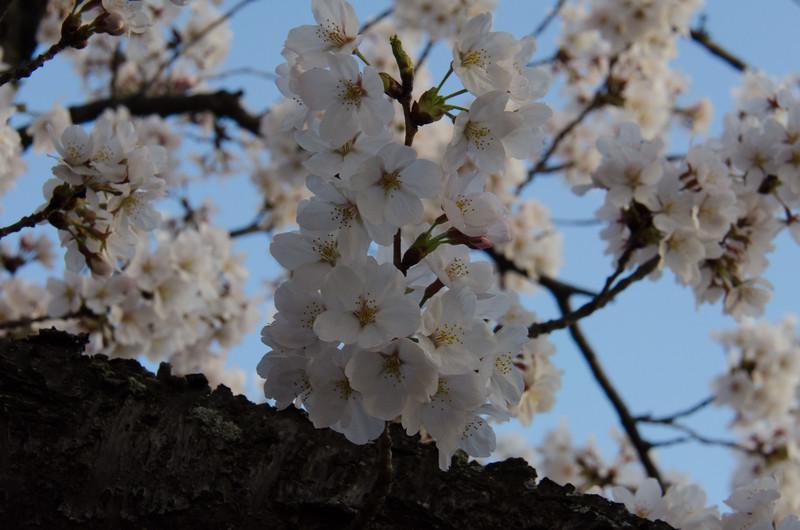 Cherry Blossom Tidal Basin Early Morning -20.jpg