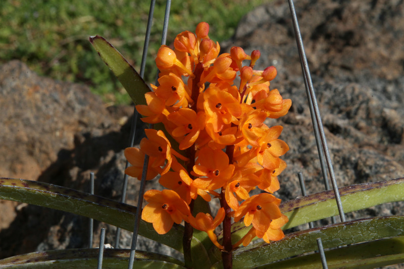 """Asctn miniatum     """"Kai Gold""""  Orchid from collection  Bloom Date: April 22, 2007"""