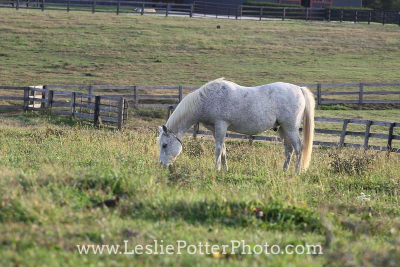 Gray Arabian Horse Grazing