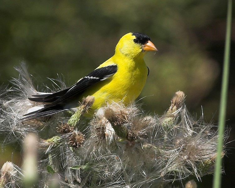 goldfinch-01c.jpg