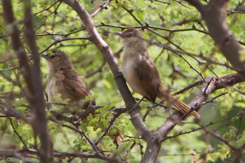 Rufous-fronted Thornbird at Gotas de Agua, Cajamarca, Peru (06-29-2010) 914
