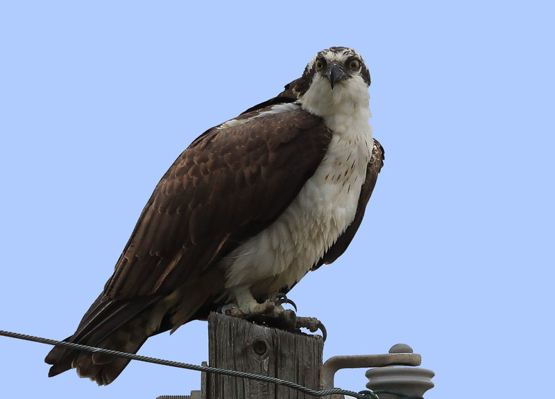 zzGalveston 2-6-2015 325C, SMALL FINAL Osprey.jpg