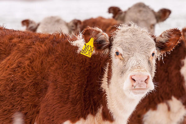 Hereford cows in the Snow-Muenster Texas