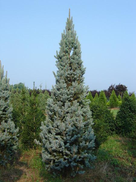 Picea pungens 'Fastigiata'  Fastigit Blue Spruce