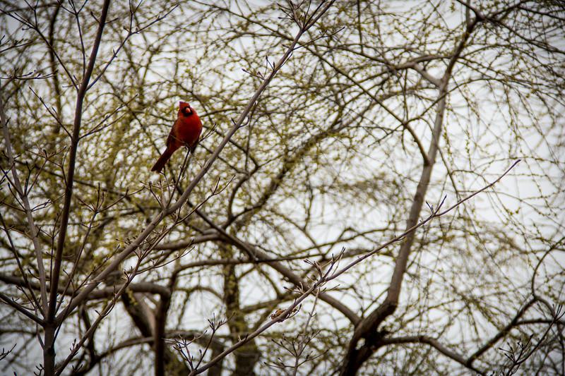 Central Park Cardinal-2857.jpg