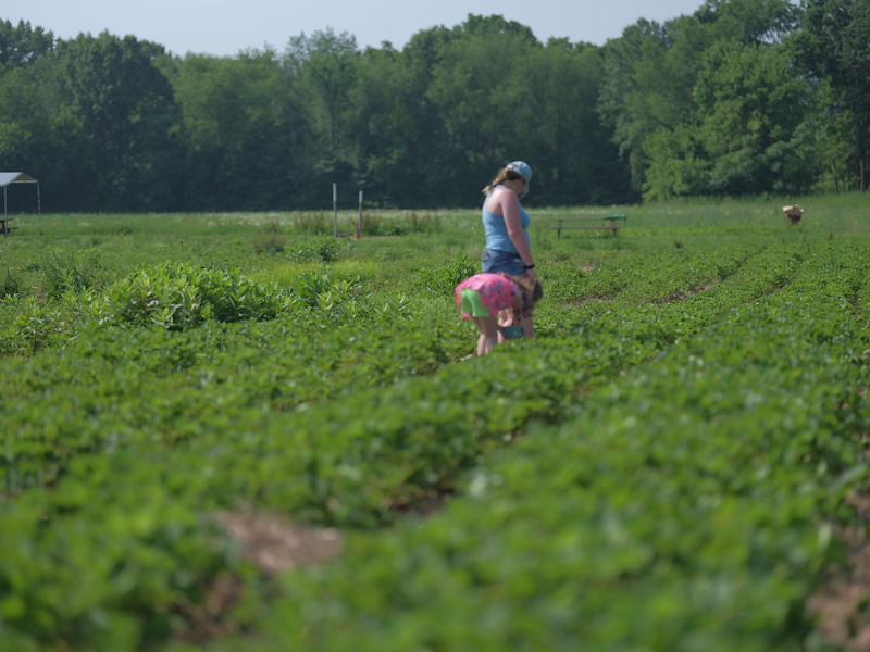 June 17, 2018 - Strawberry Picking for Fathers Day-207.jpg