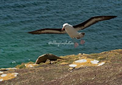 Saunders Island, Falklands
