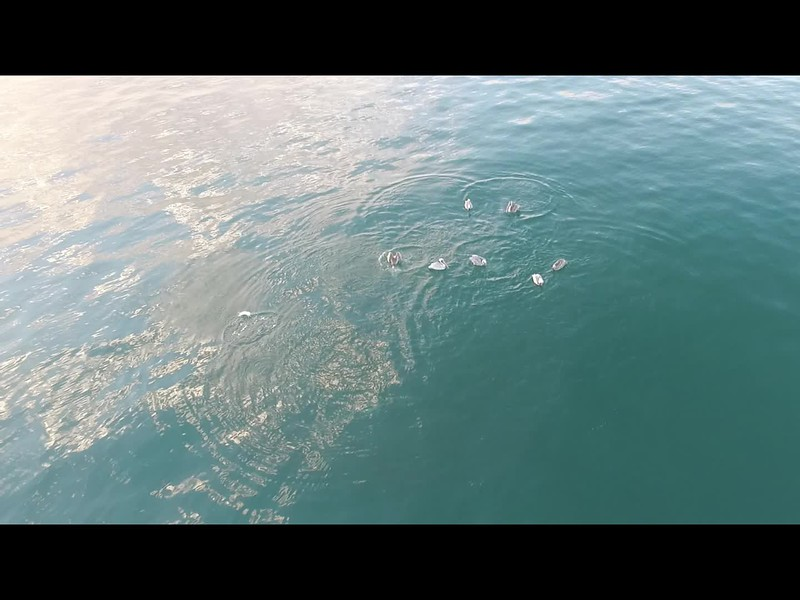 Pelicans feeding and eating in the ocean with fish and stingrays swimming