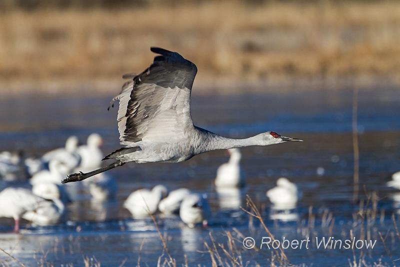 Sandhill Crane, Grus canadensis, flying, Bosque del Apache National Wildlife, New Mexico