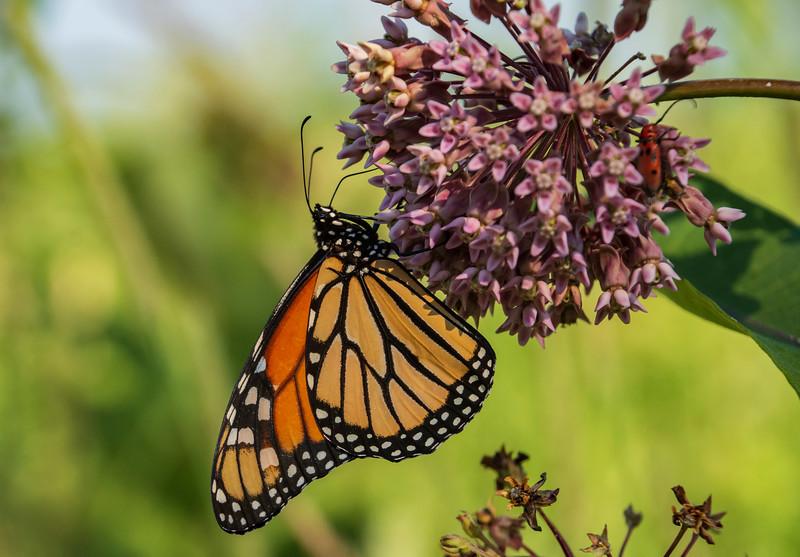 Monarch-butterfly-milkweed4-SFbog.jpg