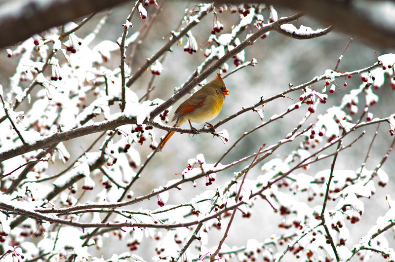 Cardinals love Gum Tree Farm because we have so many winter berries