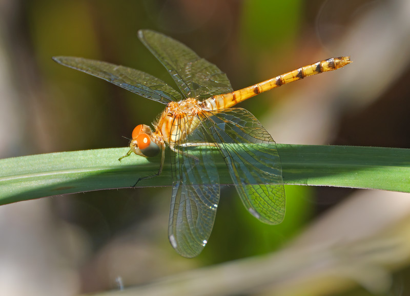 Bluefaced Meadowhawk (Sympetrum ambiguum), teneral female