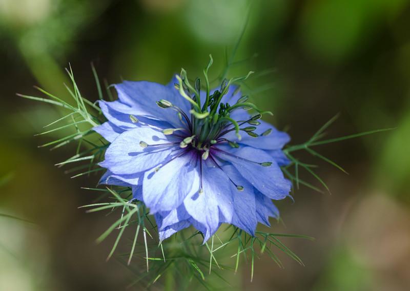 Periwinkle flower.jpg