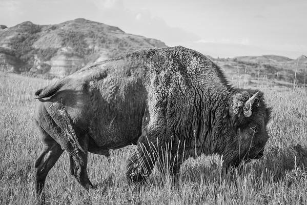 Buffalo Bill Goes To Watford City