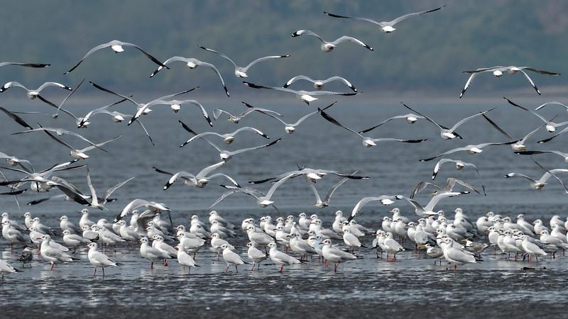 Gulls-and-terns-mudflasts-goa.jpg