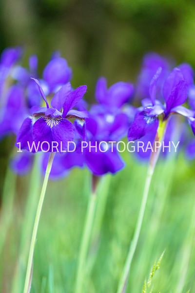 201906062019_6 Neighborhood Irises366--174.jpg