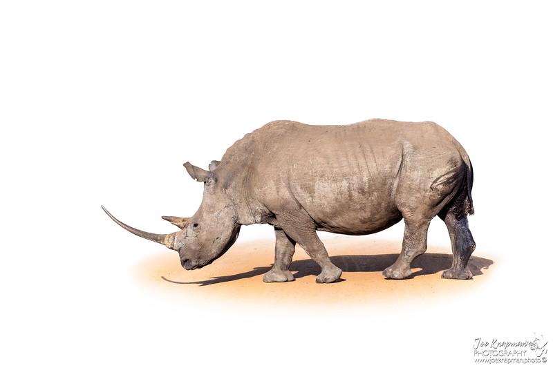 Female White Rhino