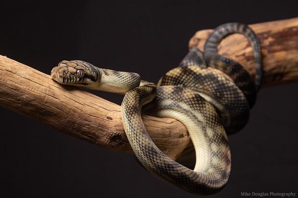 Scrub Pythons