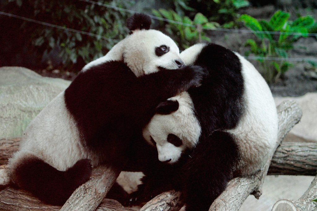 . <p>25. PANDAS <p>Would be REALLY uninterested in mating if they had cable TV.   (Franck Prevel/Getty Images)