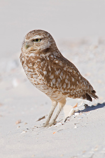 Owl - Burrowing - St. George Island, FL - 03
