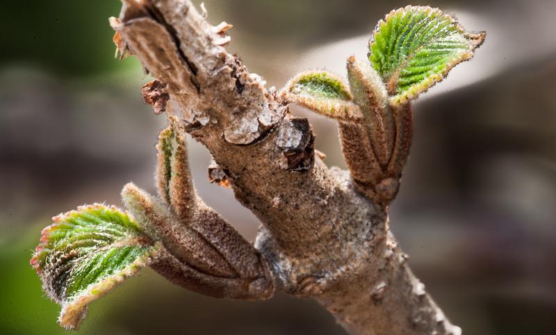 Viburnum sprouts