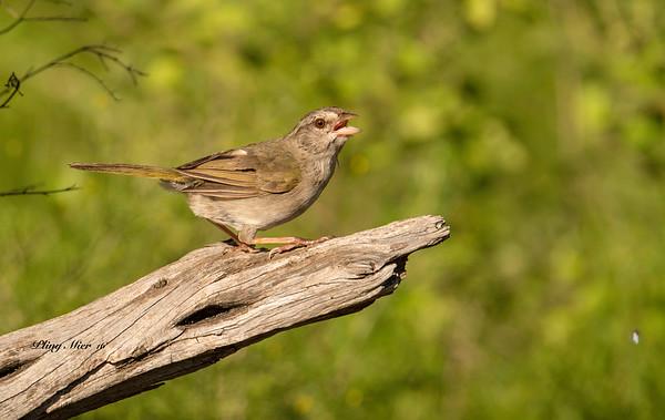 Olive Sparrow 2 LL_DWL5491.jpg